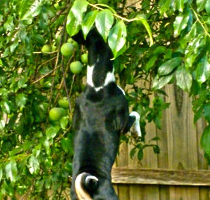 Our dog picking fruit from the tree